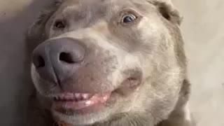 Happy Labrador literally smiles for more belly rubs