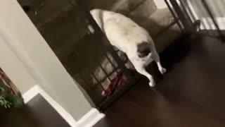 Dog Denied Extra Food Walks Away and Slams Door