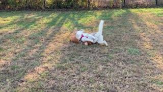 Cute Husky Playing with Dog