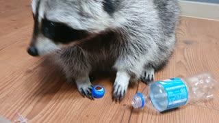 Genius raccoon opens plastic bottle to reach what's inside