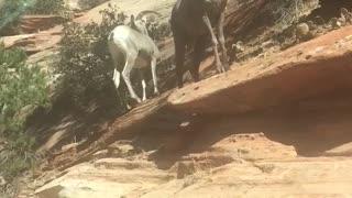 Goats Zion National Park