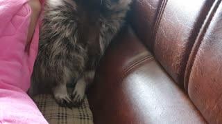 Raccoon with peekaboo
