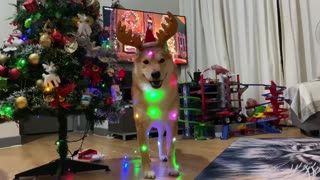 Festive Shiba Inu is definitely ready for Christmas