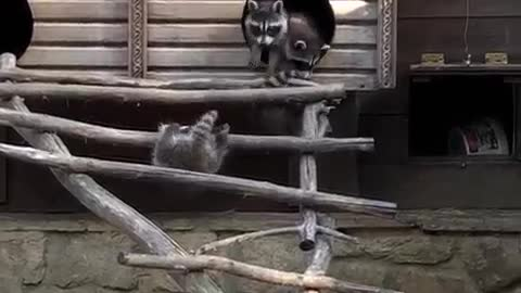 Raccoons first trip at the zoo