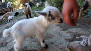 Baby little Goats too Cute !!!