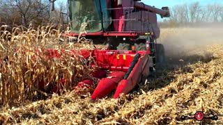 Combine Harvesting Corn Beautiful Fall Day 4K Drone Footage