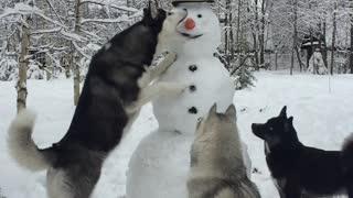 Husky Steals Snowman's Carrot