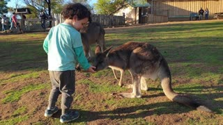 The kangaroo is a marsupial from the family Macropodidae - Wildlife - short Film