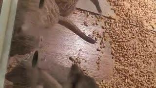 Meerkats that feed on food.