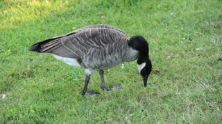 Canadian goose picking something to eat in the park