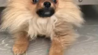 Small brown dog crawls out from under glass table