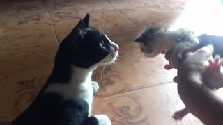 Big Brother cat meets little kitten for first time
