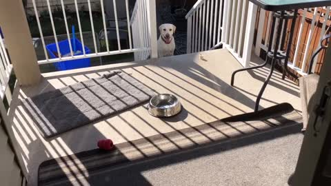Dog overcame fear for stairs