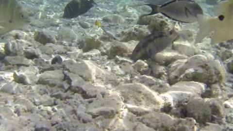 Red sea Fish making Rotations