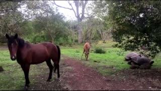 Horse and foal casually graze alongside giant Galapagos tortoises