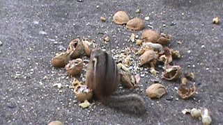 chipmunks eating almonds and peanuts
