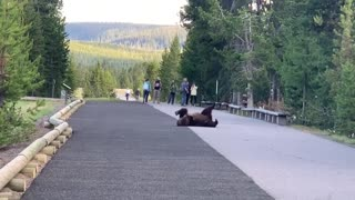 Grizzly bear totally surprises visitors while scratching itch at Yellowstone