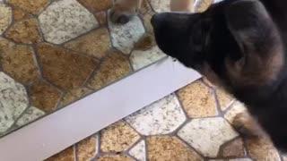 Puppy tries to befriend her reflection in mirror