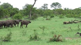 Fearless Lion Attacks Buffalo Herd ALONE!!