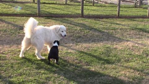 Boston terrier vs. Great Pyrenees