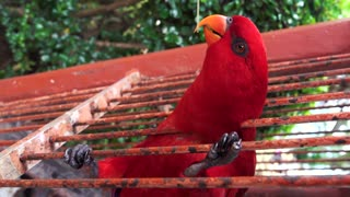 cute red parrot