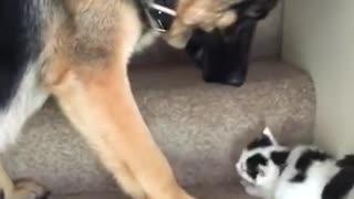 Dog Carries Kitten Upstairs !