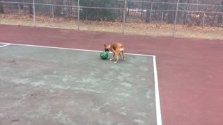 Harley the 10-month old Boxer Puppy Plays with a Basketball