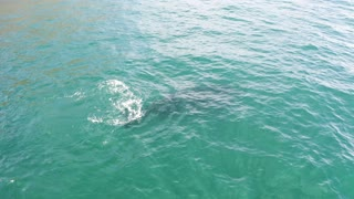 A close up view of a Southern Right Whale swimming under water,