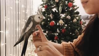 Wilbur the Cockatiel Showcasing His Tricks