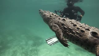 Swimming with a Saltwater Crocodile