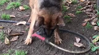 Clever dog tries to sneak water hose inside house