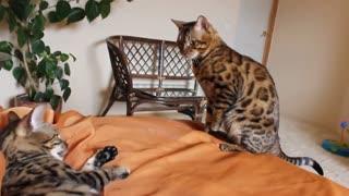 Beautiful Bengal cat playing