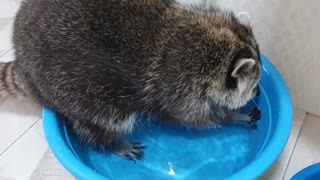 Raccoon hunts snacks in the water