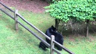 Rowdy Bear Cubs Having a Blast