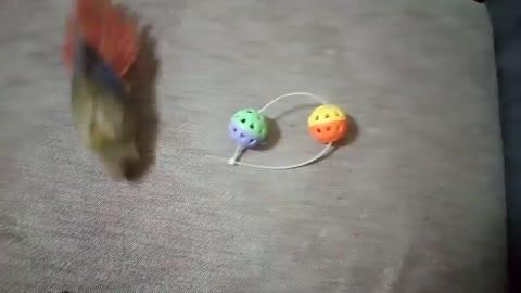 給我家小太陽鸚鵡任何東西.都要繞一繞圓圈圈~