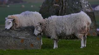flock of sheep playing