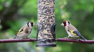 Vedio of goldfinches eating