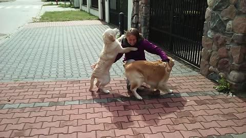 Golden Retrievers deliver heartwarming welcome upon owner's return