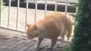 Cat angry at his fatness