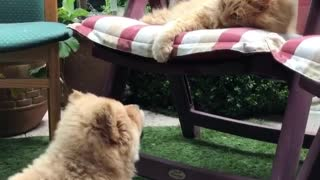 Chow puppy really wants to play with kitty friend