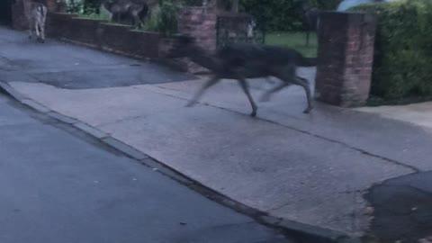 Suburban Deer Herd Hops Between Houses