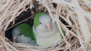 Parrot couple in there house