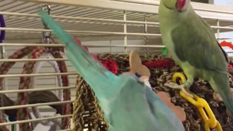 A Parrot Sneaks Up Behind His Brother. What He Says To Him Is Absolutely Hilarious!