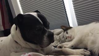 Cute cat adorably annoys doggy