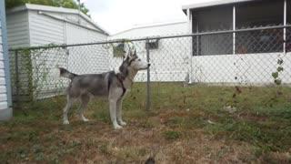 Husky love in slow motion