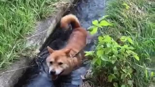 Clever Shiba Inu Finds The Perfect Place To Cool Off