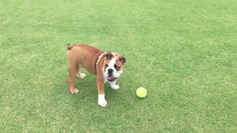 English Bulldog still learning how to fetch