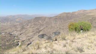 Condors released back into the wild in Bolivia