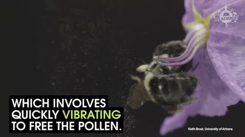 Bees Use Different Methods Of Pollinating Flower