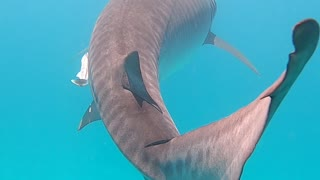 Swimming with a Large Tiger Shark in Ningaloo Reef